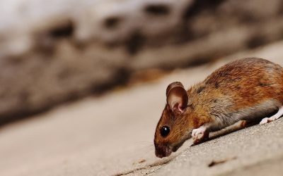 How to Get Rid of Mice in a Crawl Space